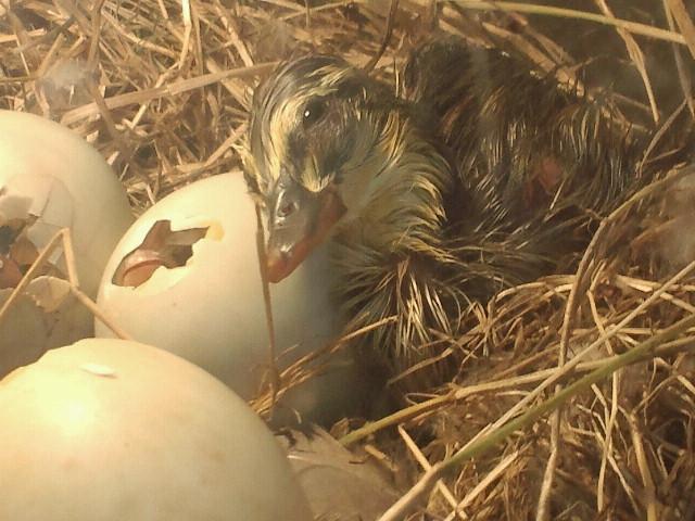 鴨の卵その後